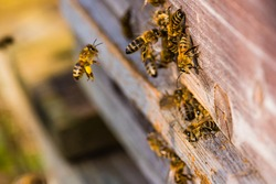 Bees sitting at the entrance of their beehive, bees fly to their beehive