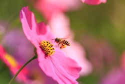 Bees store honey dew from cosmos flower