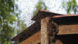 bees swarming bee hive is a job for the local pest control