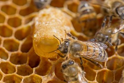 Bees work near the larva of the Queen Bee. Royal jelly in queen cell. bees and queen bees larvae on honeycomb