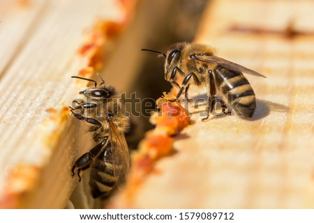 Photo of  bees work on laying propolis in a hive. honey bees work in the hive. Close up view of the opened hive body showing the frames. the bees are smeared with propolis in the hive. bees work with propolis.