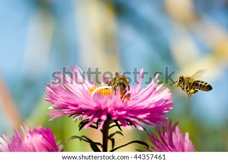 Bees working on a aster. From flower to flower.