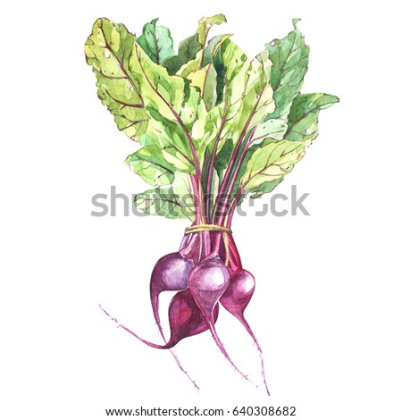 Beet, beetroot with leaves isolated, illustration hand drawn painted watercolor.