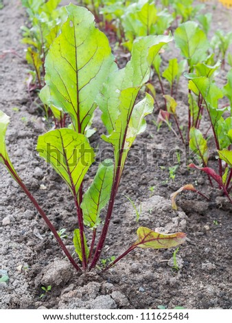 Beet cultivation on open soil. Shallow depth-of-field.