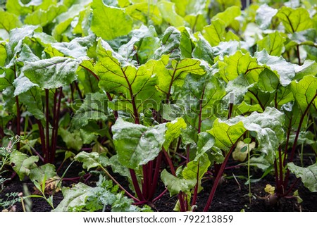 Beet leaves growing in the garden