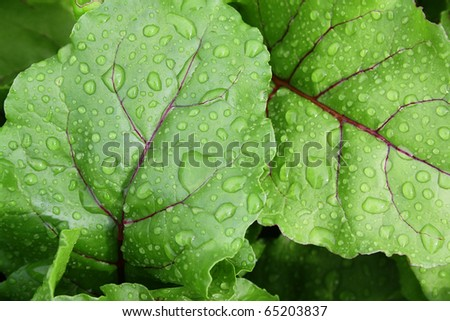 Beet leaves in drops of water after a rain