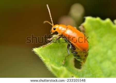 Beetle #233105548
