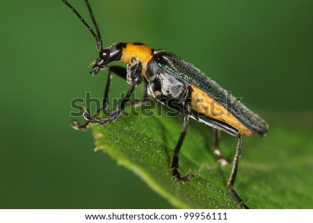 beetle #99956111