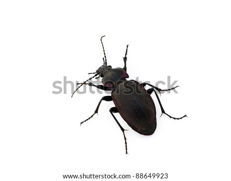 Beetle against a white background