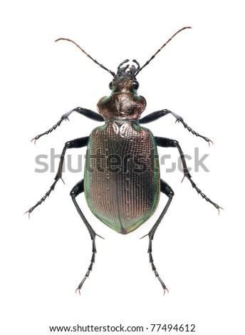 Beetle Calosoma inquisitor on the white background