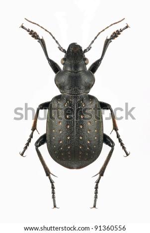 Beetle Calosoma investigator on the white background