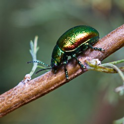 beetle Chrysolina graminis crawling along the branch of the plant