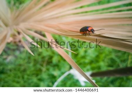 Beetle, (coleoptera) Orange and Black #1446400691
