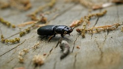 Beetle Crawling Across a Log, Patent Leather Beetle, Horned Passalus Beetle