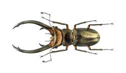 Beetle cyclommatus elaphus, isolated on white