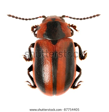 Beetle Entomoscelis adonidis on a white background