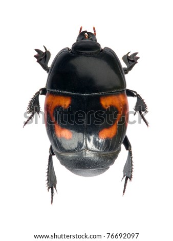 Beetle Hister quadrimaculatus on the white background