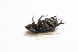 beetle insect lie supine on the white floor. It is the largest insect in the world.