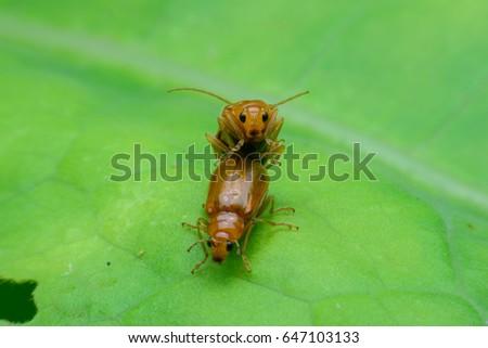 Beetle is breeding on green leaf