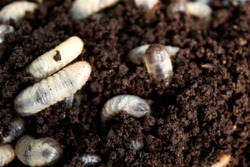 beetle lavas in soil.  group of larvas in soil . fat insect larvae