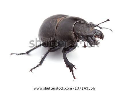 Beetle Lethrus apterus on white
