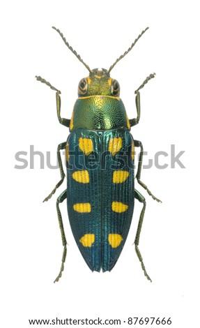 Beetle Metallic wood borer Buprestis octopunctata (male) on a white background