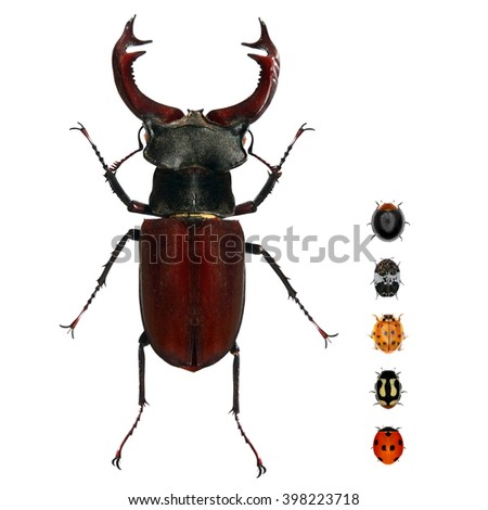 Beetle of Lucanus cervus (Lucanidae) and various ladybugs (ladybird beetles). Isolated on a white background. Small versus big size (parameter) of insects concept #398223718