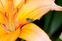 Beetle of Otiorhynchus (sometimes Otiorrhynchus) eating lily flower. Many of them e.i. black vine weevil (O. sulcatus) or strawberry root weevil (O. ovatus) are important pests.