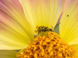 beetle on a yellow and pink dahlia