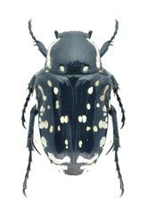 Beetle Oxythyrea cinctella on a white background