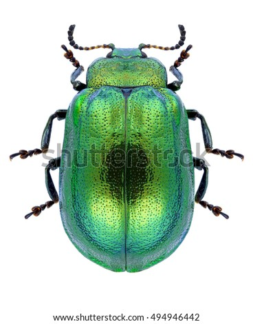 Beetle Plagiosterna aenea on a white background