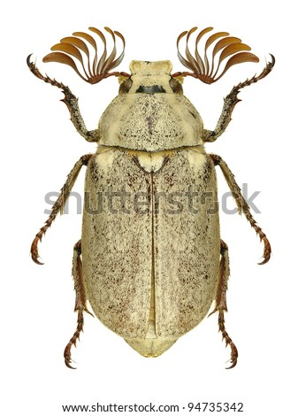 Beetle Polyphylla alba on a white background
