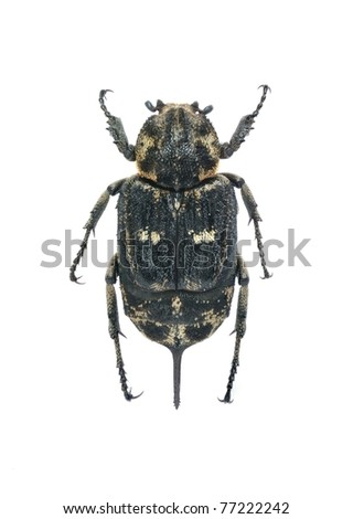 Beetle Valgus hemipterus (female) on the white background