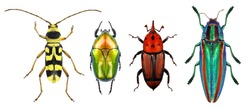 Beetles - Flower longhorn beetle, flower chafer, red palm weevil and jewel beetle (metallic wood-boring beetle) isolated on a white background. Macro