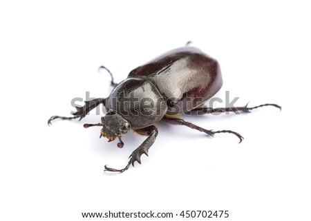 Beetles in nature ,Rhino beetle (Dynastinae)