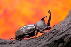 Beetles / Insect : Japanese rhinoceros beetle (Allomyrina dichotoma) or Japanese horn beetle (or Kabutomushi, Kabuto is Japanese for Samuai hemlet, and Mushi is Insect) in autumn.