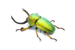 Beetles / Insect : Lamprima adolphinae or Sawtooth beetle is a species of stag beetle in Lucanidae family found on New Guinea and Papua. Green metallic color beetle isolated on White background