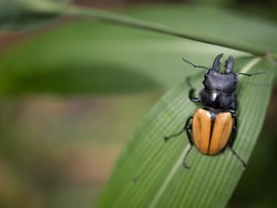 Beetles / Insect : the Fighting Giant Stag Beetle or Hexarthrius parryi , This species is present in the forest of Southeast Asia, Thailand, Indonesia and India. Beetles on green leaf background