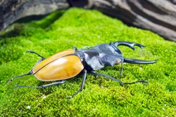 Beetles / Insect : the Fighting Giant Stag Beetle or Hexarthrius parryi , This species is present in the forest of Southeast Asia, Thailand, Indonesia and India. Beetles on green moss background