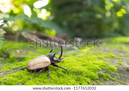 Beetles / Insect : the Five-horned rhinoceros beetle, Eupatorus gracilicornis , they are also known as Hercules beetles, Unicorn beetles, or Horn beetles , flying in nature #1177652032
