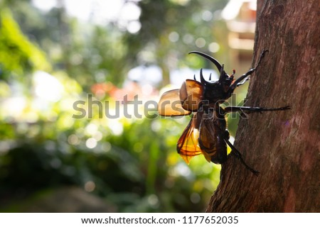 Beetles / Insect : the Five-horned rhinoceros beetle, Eupatorus gracilicornis , they are also known as Hercules beetles, Unicorn beetles, or Horn beetles , flying in nature #1177652035