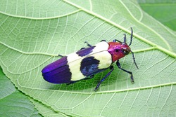Beetles / Insects / Bugs: Banded Jewel Beetle(Chrysochroa buqueti rugicollis) or Red speckled beetle, is a Southeast Asian species of beetle in Buprestidae family, one of world's most beautiful insect