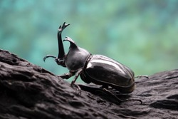 Beetles / Insects / Bugs : Japanese rhinoceros beetle (Allomyrina dichotoma) or Japanese horn beetle (or Kabutomushi, Kabuto is Japanese for Samuai hemlet, and Mushi is Insect) in nature