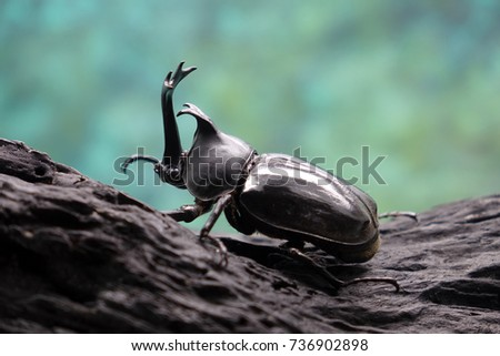Beetles / Insects / Bugs : Japanese rhinoceros beetle (Allomyrina dichotoma) or Japanese horn beetle (or Kabutomushi, Kabuto is Japanese for Samuai hemlet, and Mushi is Insect) in nature #736902898
