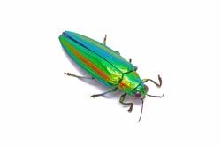 Beetles / Insects / Bugs : Jewel beetle (Chrysochroa fulgidissima) or Metallic wood-boring beetle  , Isolated on white background.