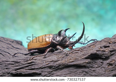 Beetles/Insects/Bugs : The Five-horned rhinoceros beetle (Eupatorus graciliconis)  known as Hercules beetles , Unicorn or Horn beetles , in tropical forest.