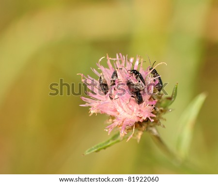 Beetles perched on a flower collecting pollen.