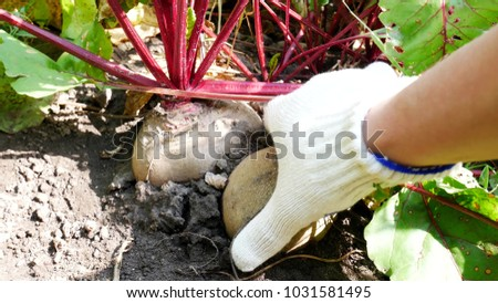 Beetroot Leaves Moving By Wind on Garden Food Plant. Ripe Red Beetroot Laying on the Ground. Beetroot in a Vegetable Garden. Farmer's Hands In White Work Gloves Gather Fresh Beet