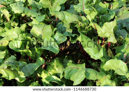 Beetroot or Beta vulgaris or Table beet or Garden beet or Red beet or Golden beet plants with large thick green leaves and dark red stems growing in local garden on warm sunny day