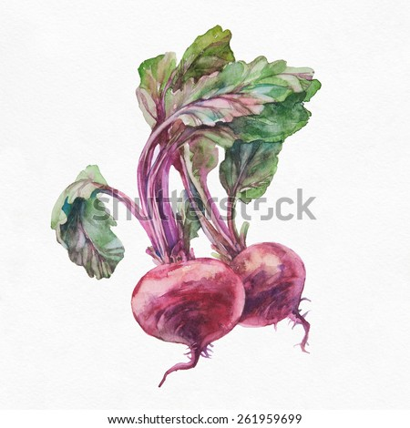 Beetroot. Watercolor painting on white background.